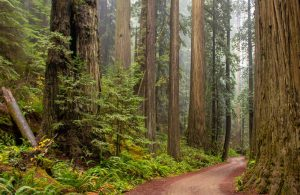 Tree-lined path through the Redwoods